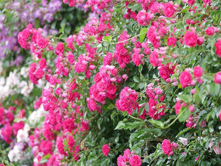 キングローズ(King Rose)の花がたくさん咲いた。ツルバラ。2021年-031.jpg