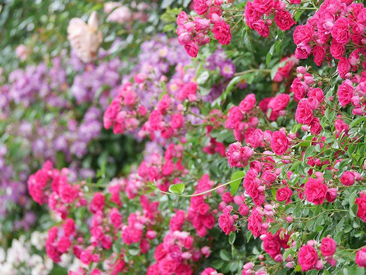 キングローズ(King Rose)の花がたくさん咲いた。ツルバラ。2021年-032.jpg