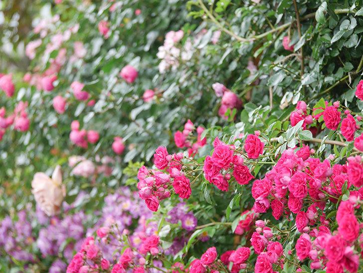 キングローズ(King Rose)の花がたくさん咲いた。ツルバラ。2021年-033.jpg