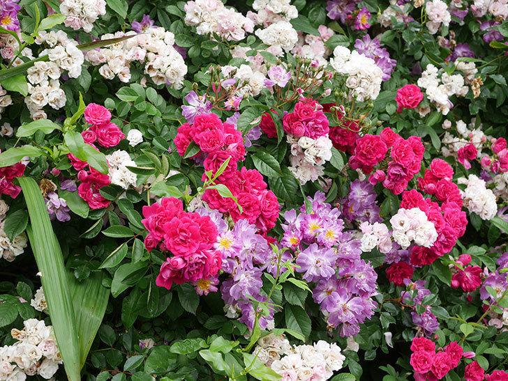 キングローズ(King Rose)の花がたくさん咲いた。ツルバラ。2021年-034.jpg