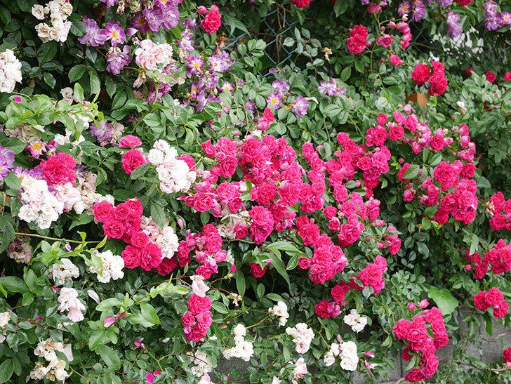 キングローズ(King Rose)の花がたくさん咲いた。ツルバラ。2021年-035.jpg