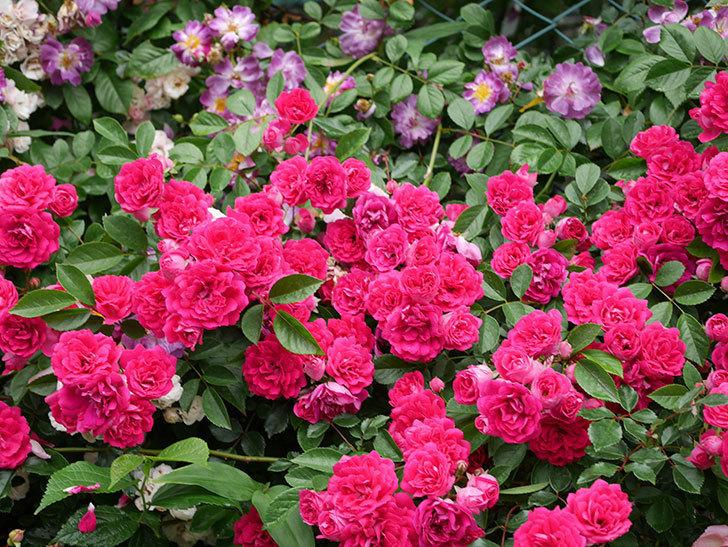キングローズ(King Rose)の花がたくさん咲いた。ツルバラ。2021年-037.jpg