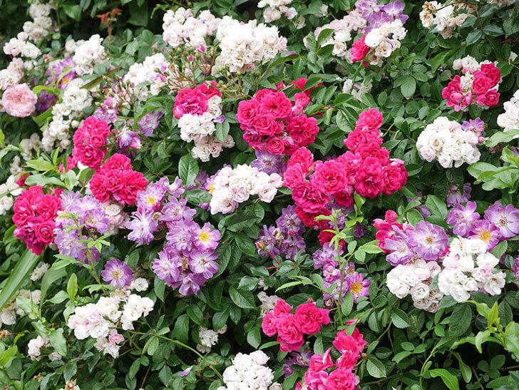 キングローズ(King Rose)の花がたくさん咲いた。ツルバラ。2021年-038.jpg