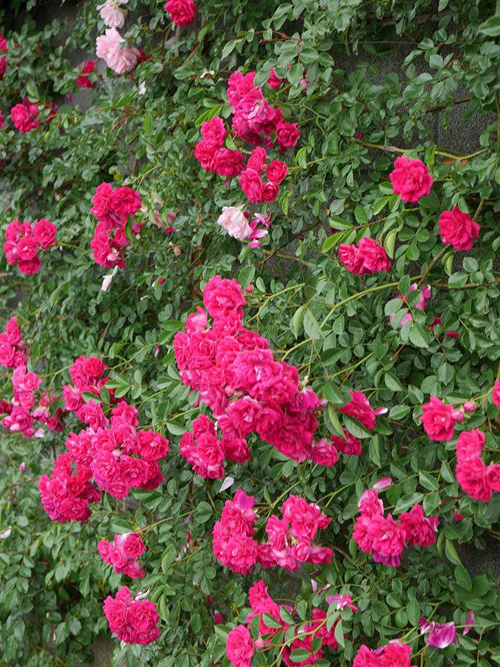 キングローズ(King Rose)の花がたくさん咲いた。ツルバラ。2021年-039.jpg
