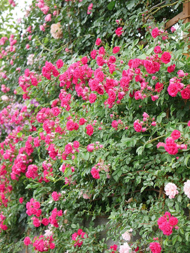 キングローズ(King Rose)の花がたくさん咲いた。ツルバラ。2021年-040.jpg