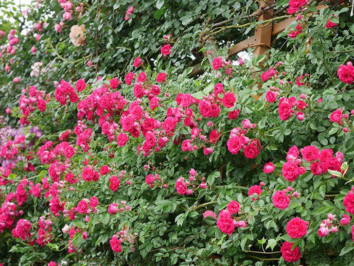 キングローズ(King Rose)の花がたくさん咲いた。ツルバラ。2021年-041.jpg