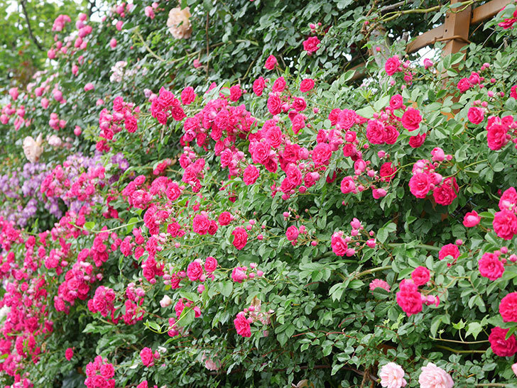 キングローズ(King Rose)の花がたくさん咲いた。ツルバラ。2021年-042.jpg