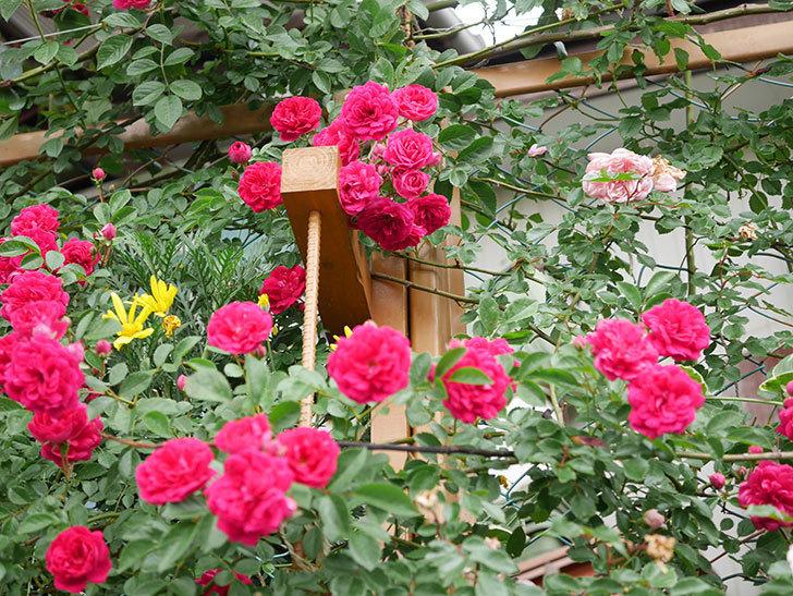 キングローズ(King Rose)の花がたくさん咲いた。ツルバラ。2021年-043.jpg