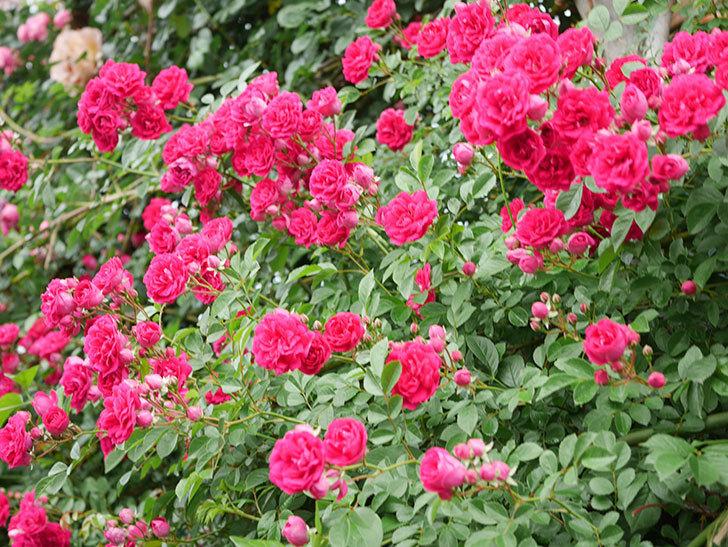 キングローズ(King Rose)の花がたくさん咲いた。ツルバラ。2021年-044.jpg
