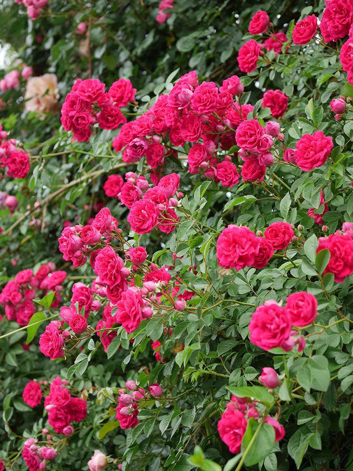 キングローズ(King Rose)の花がたくさん咲いた。ツルバラ。2021年-045.jpg