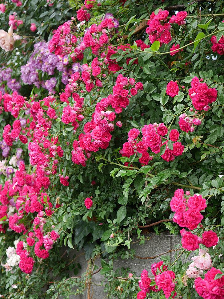キングローズ(King Rose)の花がたくさん咲いた。ツルバラ。2021年-047.jpg