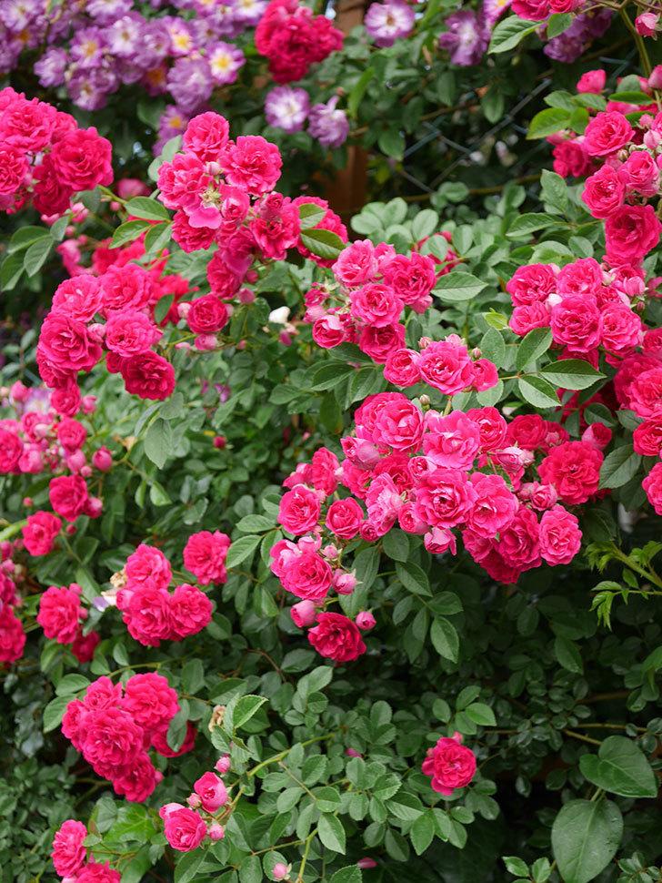 キングローズ(King Rose)の花がたくさん咲いた。ツルバラ。2021年-048.jpg