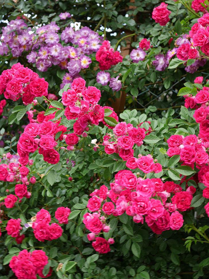 キングローズ(King Rose)の花がたくさん咲いた。ツルバラ。2021年-049.jpg