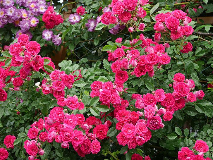キングローズ(King Rose)の花がたくさん咲いた。ツルバラ。2021年-050.jpg