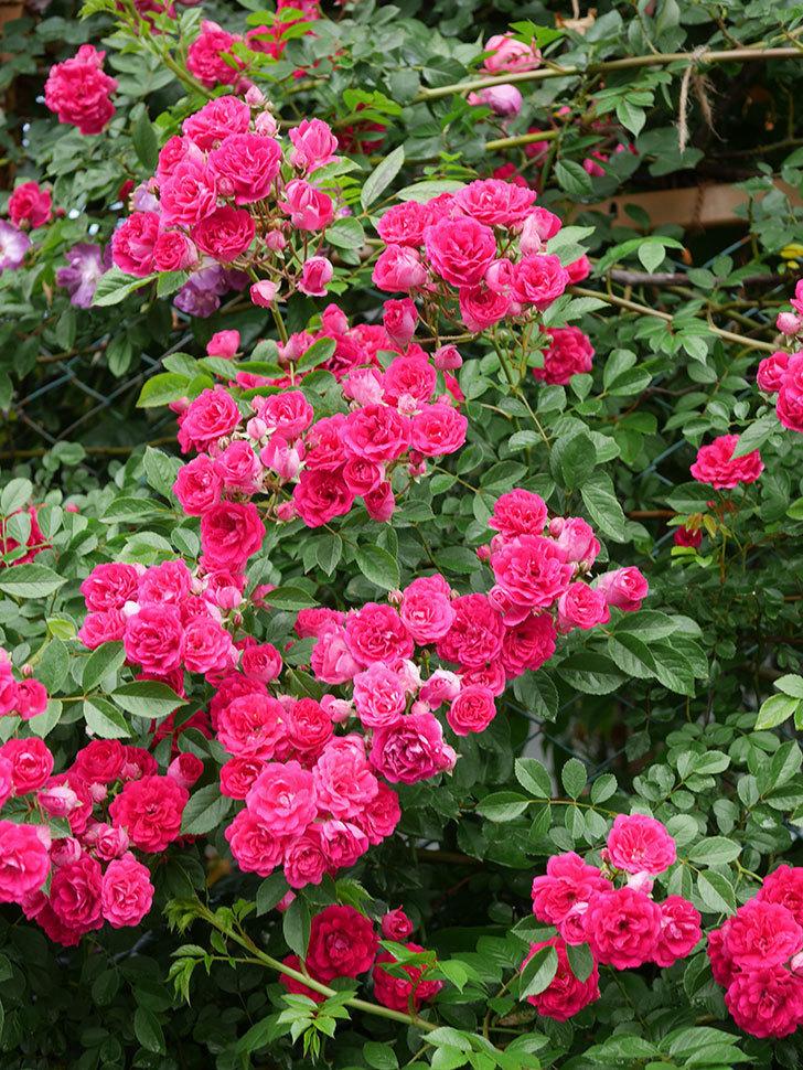 キングローズ(King Rose)の花がたくさん咲いた。ツルバラ。2021年-051.jpg
