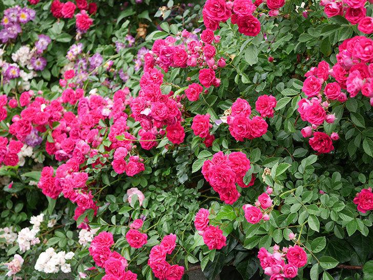 キングローズ(King Rose)の花がたくさん咲いた。ツルバラ。2021年-052.jpg