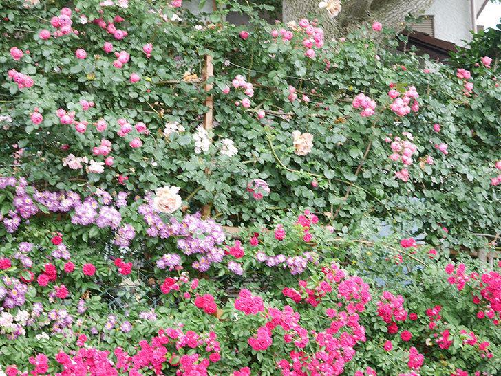 キングローズ(King Rose)の花がたくさん咲いた。ツルバラ。2021年-054.jpg