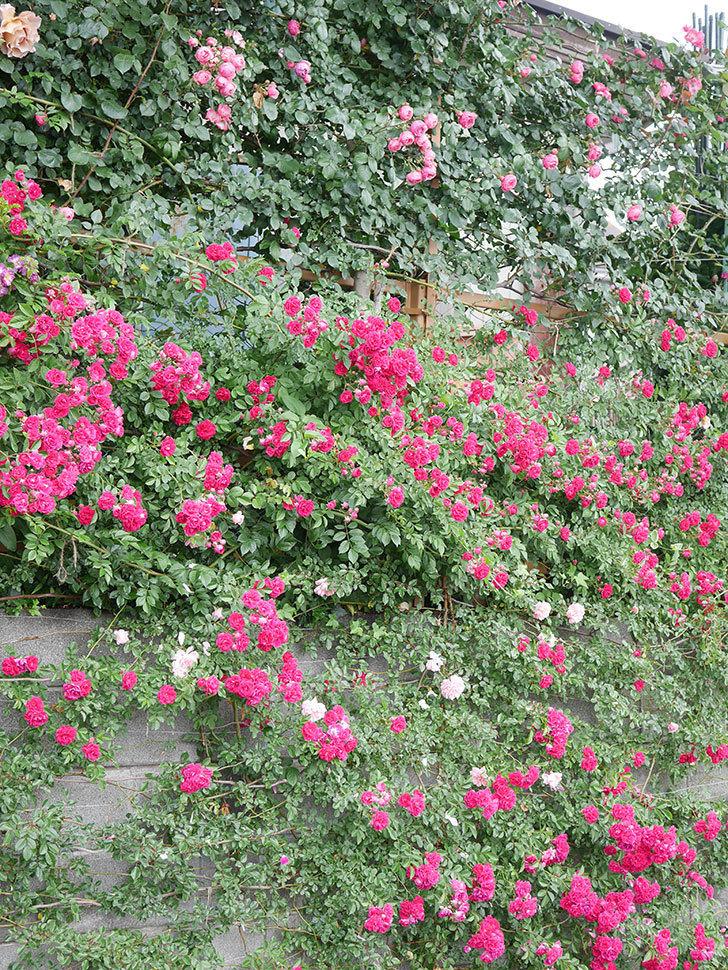 キングローズ(King Rose)の花がたくさん咲いた。ツルバラ。2021年-055.jpg