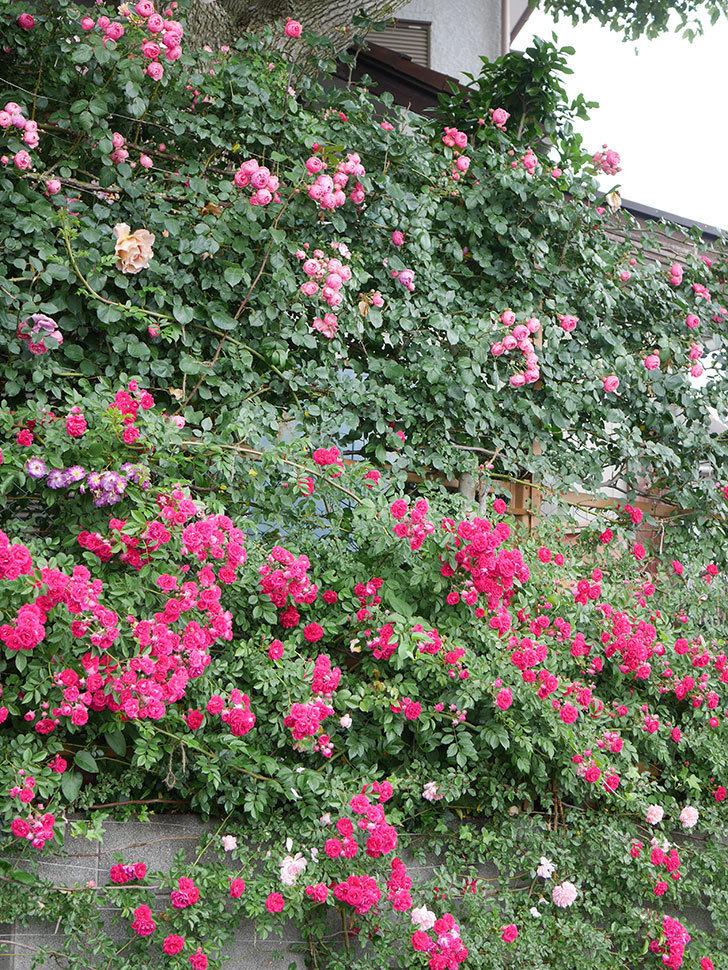キングローズ(King Rose)の花がたくさん咲いた。ツルバラ。2021年-056.jpg