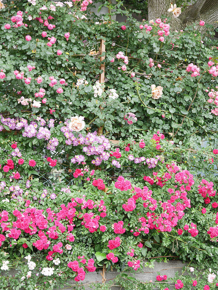 キングローズ(King Rose)の花がたくさん咲いた。ツルバラ。2021年-057.jpg