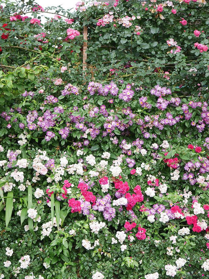 キングローズ(King Rose)の花がたくさん咲いた。ツルバラ。2021年-059.jpg