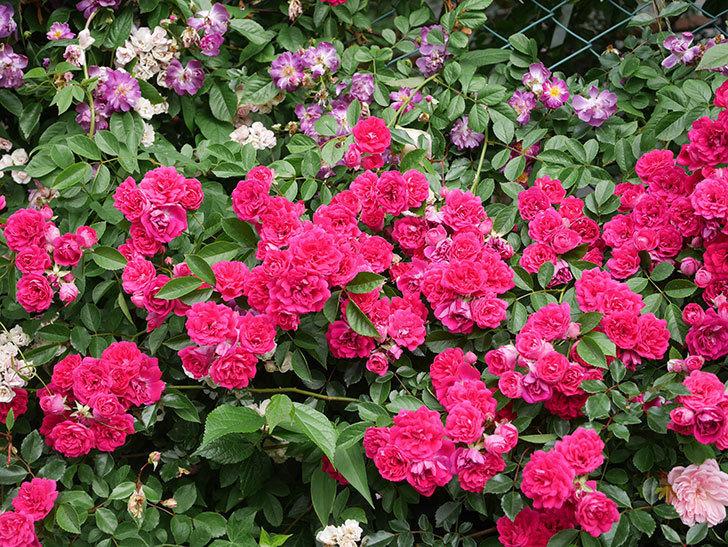 キングローズ(King Rose)の花がたくさん咲いた。ツルバラ。2021年-060.jpg