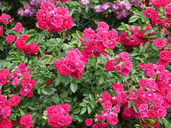 キングローズ(King Rose)の花がたくさん咲いた。ツルバラ。2021年-061.jpg