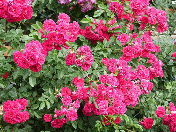 キングローズ(King Rose)の花がたくさん咲いた。ツルバラ。2021年-062.jpg