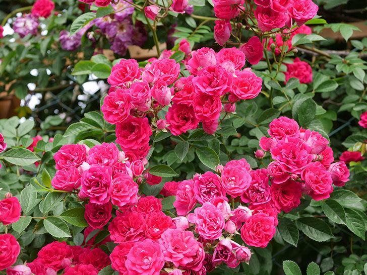 キングローズ(King Rose)の花がたくさん咲いた。ツルバラ。2021年-063.jpg