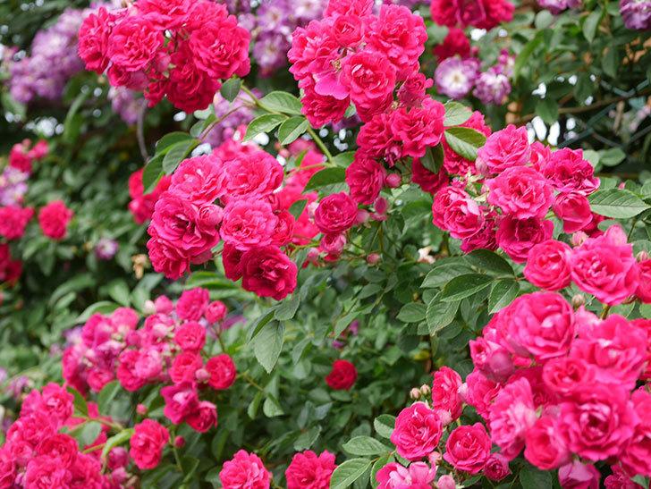 キングローズ(King Rose)の花がたくさん咲いた。ツルバラ。2021年-064.jpg