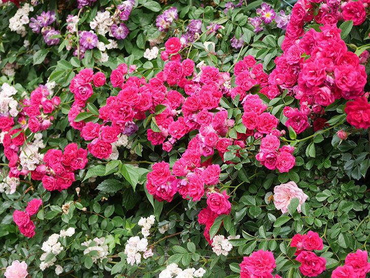 キングローズ(King Rose)の花がたくさん咲いた。ツルバラ。2021年-065.jpg