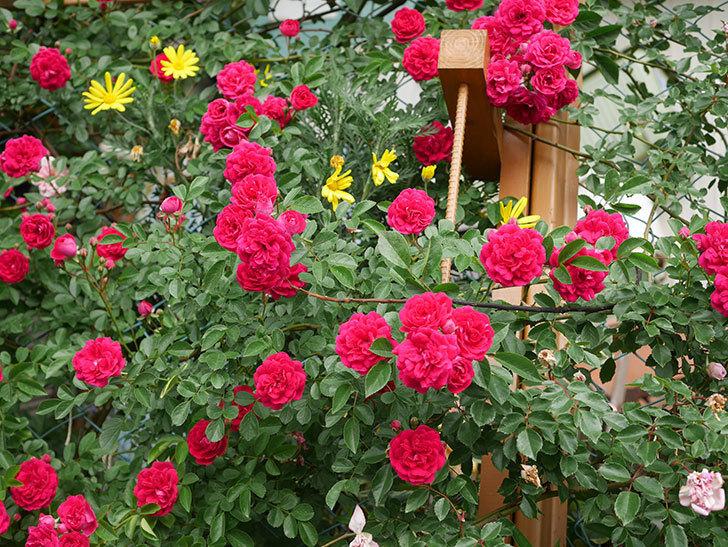 キングローズ(King Rose)の花がたくさん咲いた。ツルバラ。2021年-066.jpg