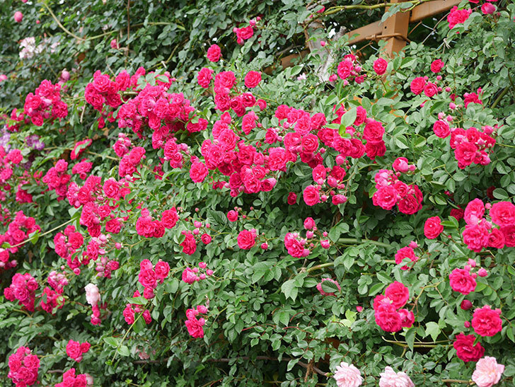 キングローズ(King Rose)の花がたくさん咲いた。ツルバラ。2021年-067.jpg