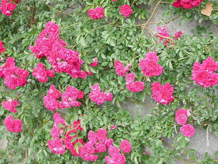 キングローズ(King Rose)の花がたくさん咲いた。ツルバラ。2021年-068.jpg