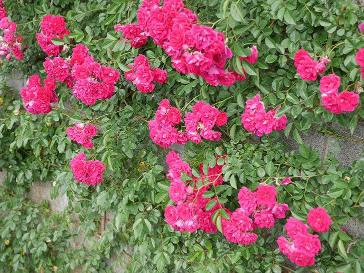 キングローズ(King Rose)の花がたくさん咲いた。ツルバラ。2021年-069.jpg