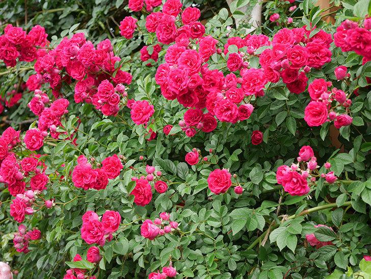 キングローズ(King Rose)の花がたくさん咲いた。ツルバラ。2021年-070.jpg