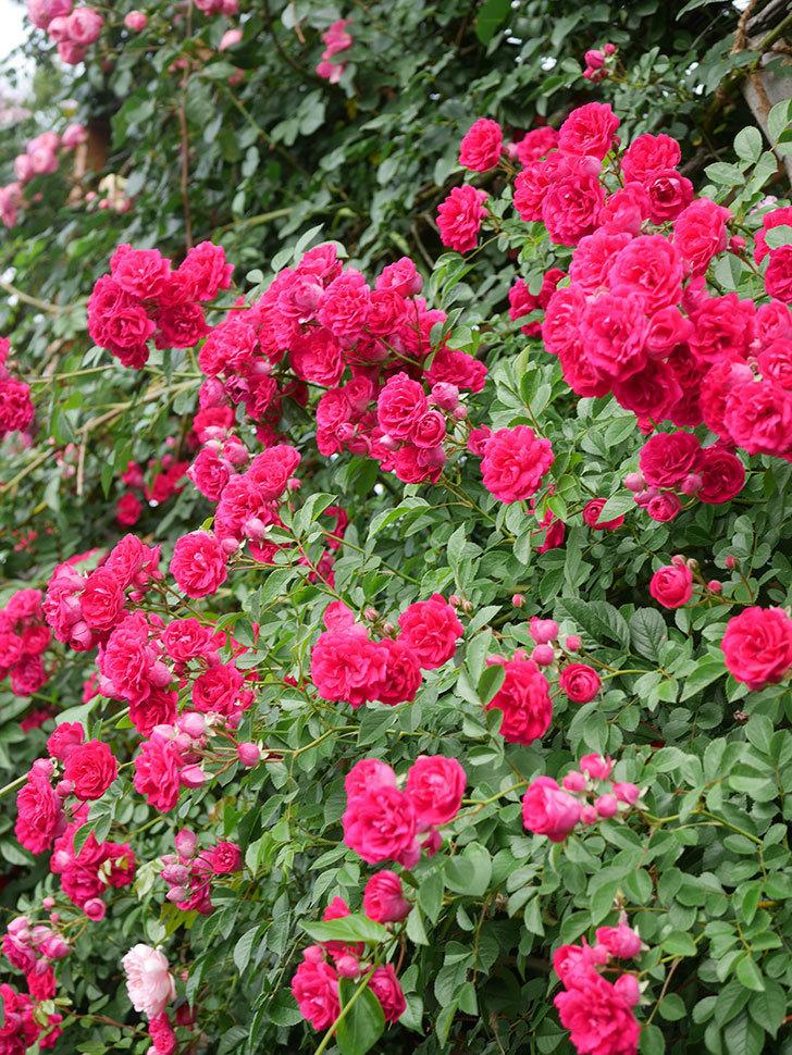 キングローズ(King Rose)の花がたくさん咲いた。ツルバラ。2021年-071.jpg