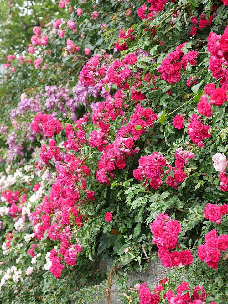 キングローズ(King Rose)の花がたくさん咲いた。ツルバラ。2021年-072.jpg