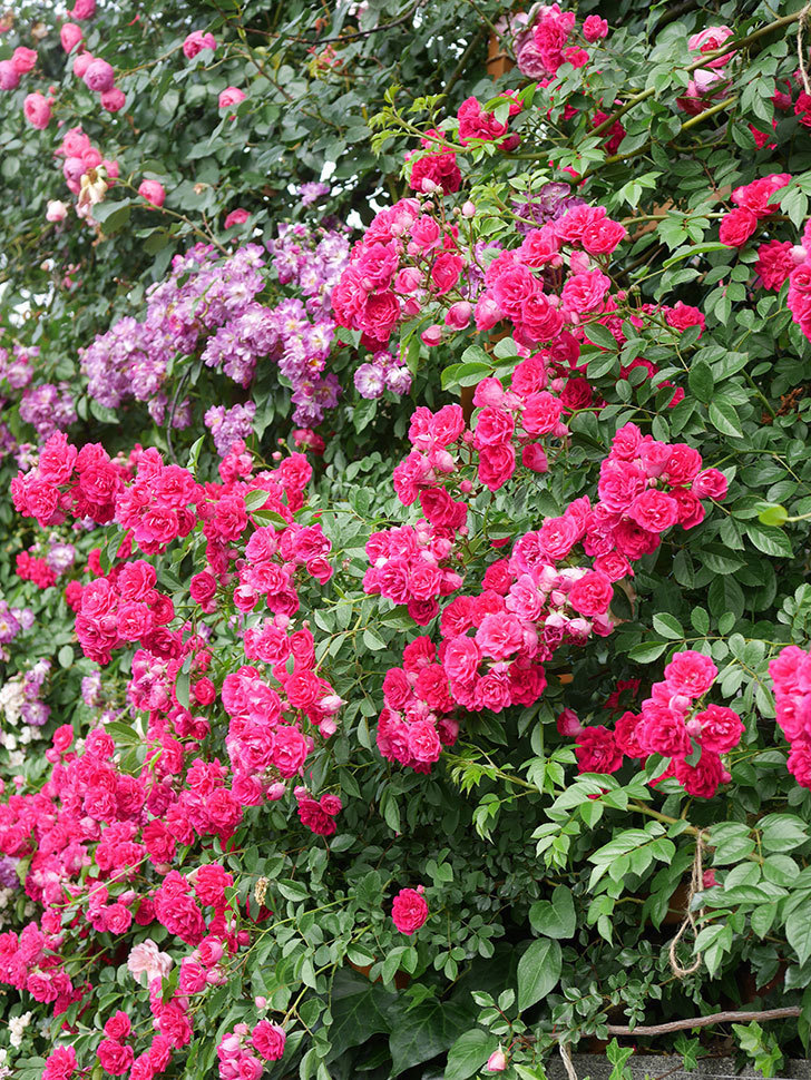 キングローズ(King Rose)の花がたくさん咲いた。ツルバラ。2021年-073.jpg