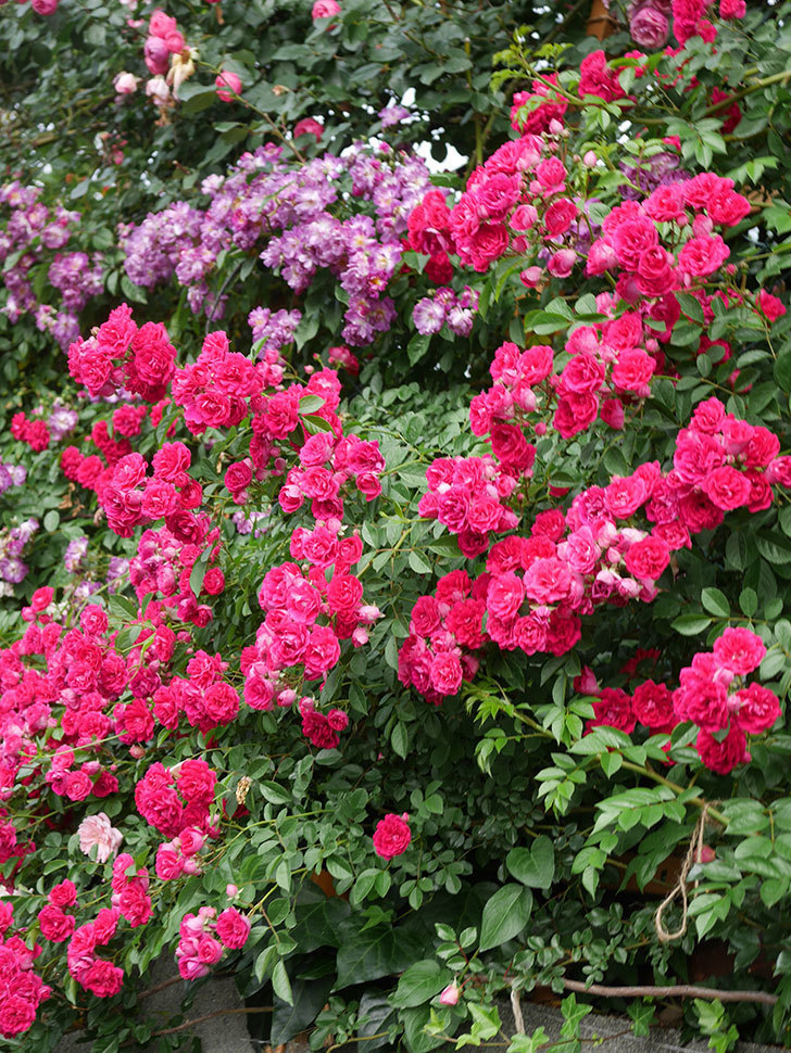 キングローズ(King Rose)の花がたくさん咲いた。ツルバラ。2021年-074.jpg