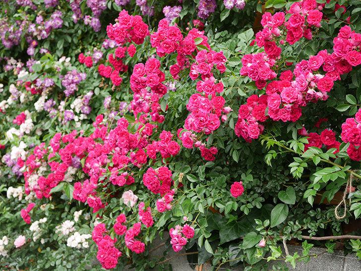 キングローズ(King Rose)の花がたくさん咲いた。ツルバラ。2021年-075.jpg