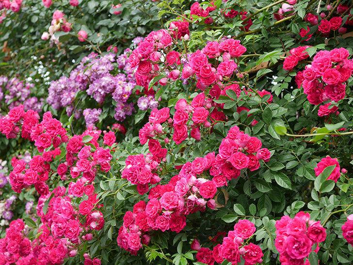 キングローズ(King Rose)の花がたくさん咲いた。ツルバラ。2021年-076.jpg