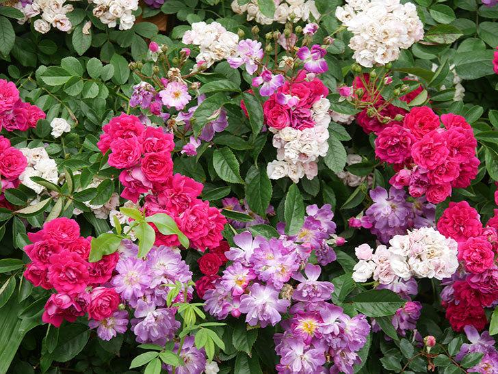 キングローズ(King Rose)の花がたくさん咲いた。ツルバラ。2021年-078.jpg