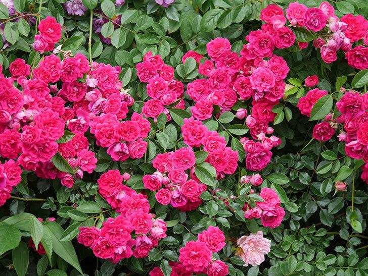 キングローズ(King Rose)の花がたくさん咲いた。ツルバラ。2021年-079.jpg