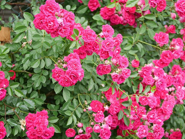 キングローズ(King Rose)の花がたくさん咲いた。ツルバラ。2021年-080.jpg