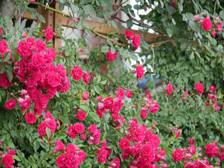 キングローズ(King Rose)の花がたくさん咲いた。ツルバラ。2021年-082.jpg