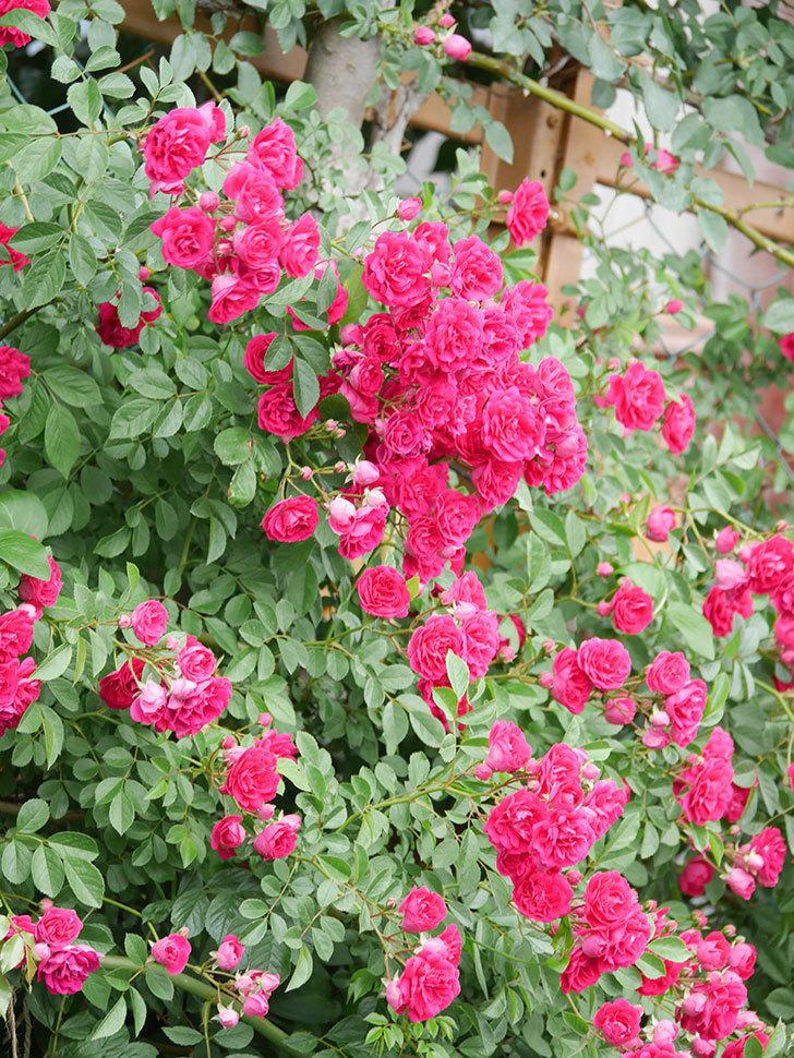 キングローズ(King Rose)の花がたくさん咲いた。ツルバラ。2021年-083.jpg