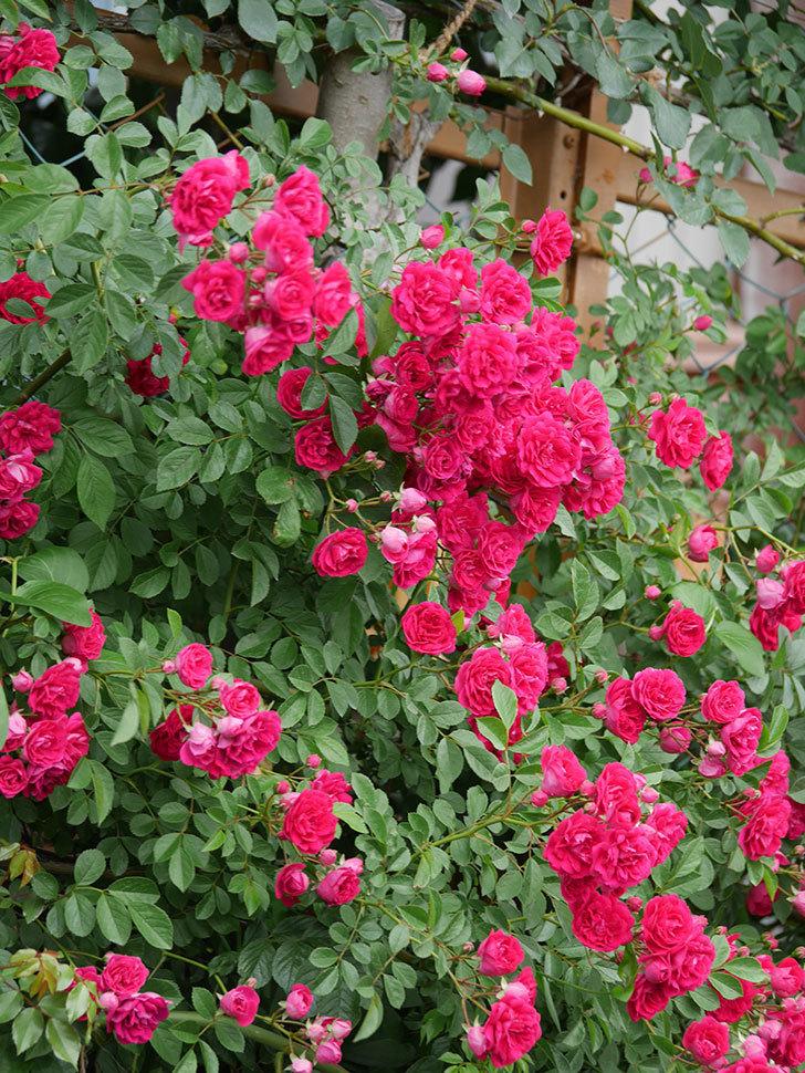 キングローズ(King Rose)の花がたくさん咲いた。ツルバラ。2021年-084.jpg