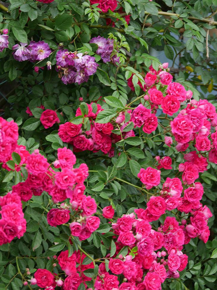 キングローズ(King Rose)の花がたくさん咲いた。ツルバラ。2021年-085.jpg