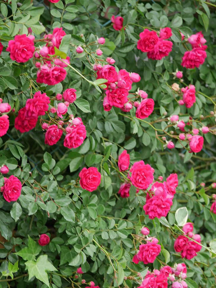 キングローズ(King Rose)の花がたくさん咲いた。ツルバラ。2021年-086.jpg
